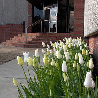 tulips outside of office